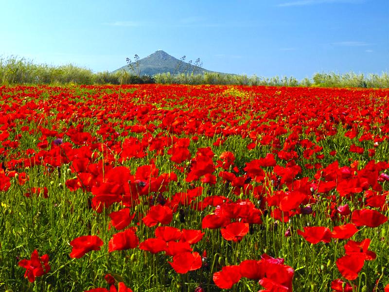 800-poppy-field-in-Paros
