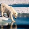 polar-bear-1wb